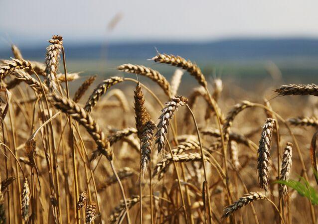 Além de mais resistente, novo trigo russo também terá mais proteína