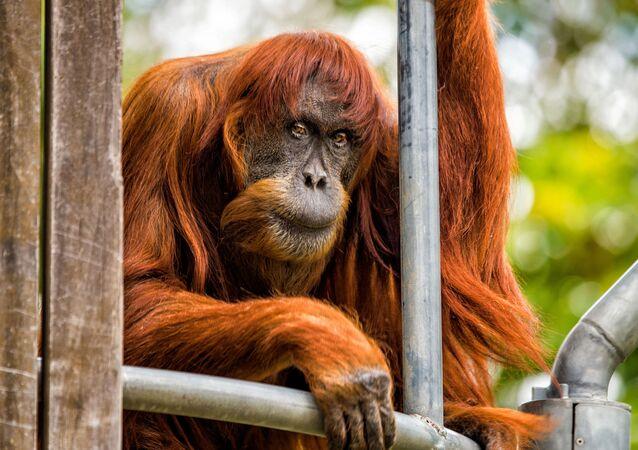 Um orangotango de Sumatra, de 60 anos de idade, é uma verdadeira lenda do jardim zoológico da cidade australiana de Perth. É o mais antigo representante dessa espécie no mundo