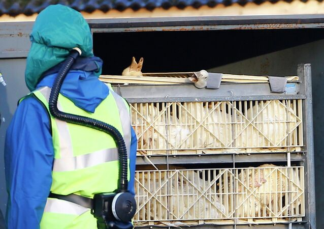 Department For Environment Food and Rural Affairs (DEFRA) officials move crates of ducks during a cull at a duck farm in Nafferton