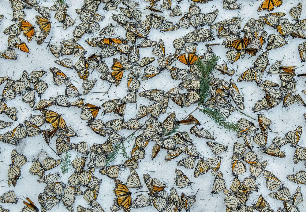 Imagem batizada como Monarcas na Neve, de Jaime Rojo, apresenta uma superfície florestal atapetada com borboletas, em Michoacán, no México