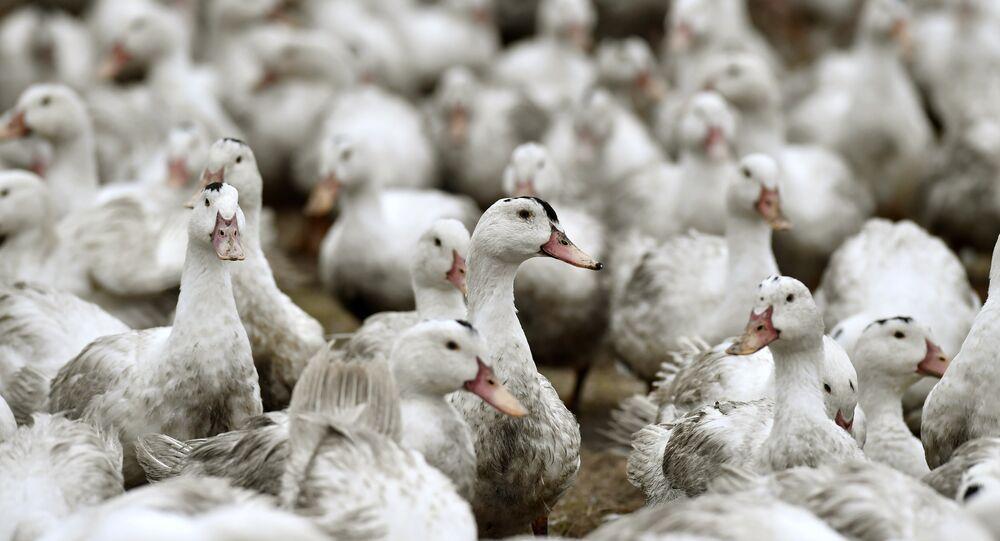 Patos em quarentena em uma fazenda da comuna francesa de Bourriot-Bergonce, em Aquitaine (foto de arquivo)