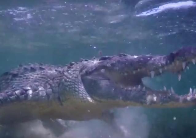 Crocodilo nas águas do México