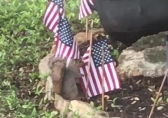 Esquilos tentam roubar bandeiras dos EUA