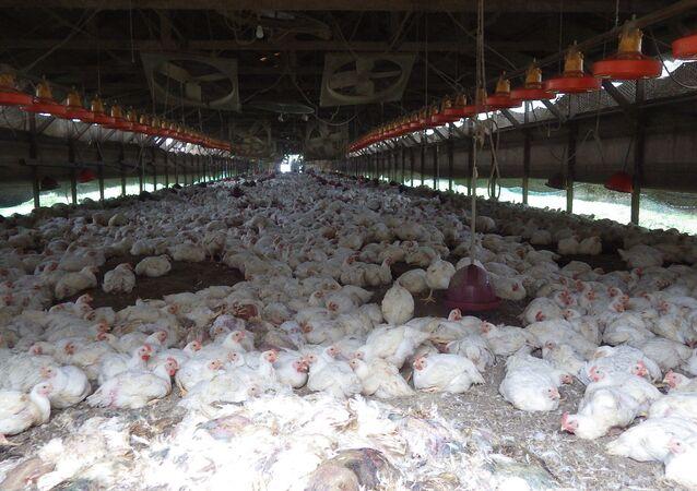 Aves contaminadas por vírus do tipo H5 em uma granja japonesa (foto de arquivo)