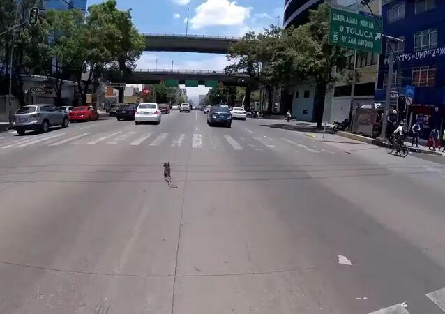 Heroína sobre rodas: ciclista tenta salvar cachorro de inúmeros carros