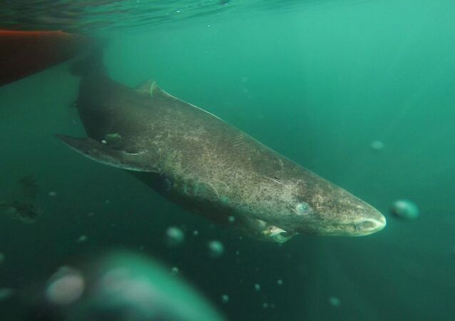 Um tubarão grande