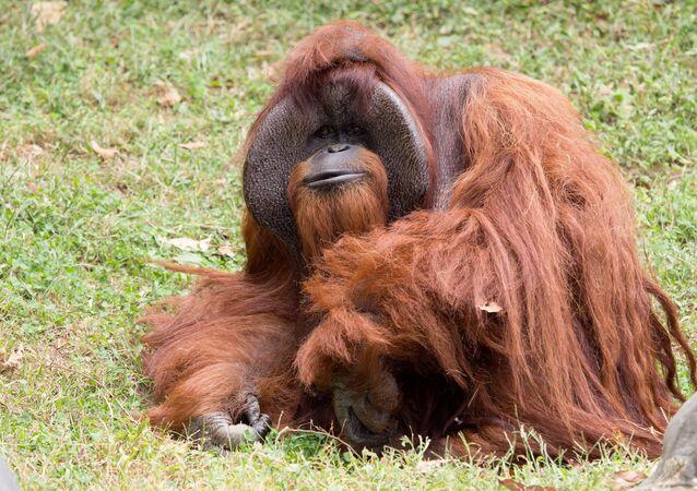 Orangotango (imagem ilustrativa)