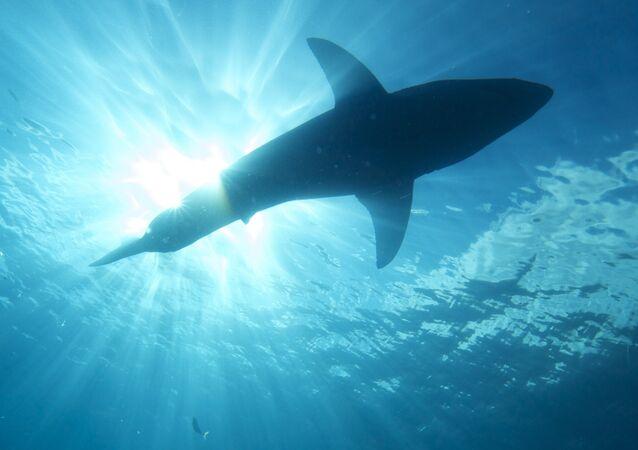 Um tubarão no mar (imagem referencial)