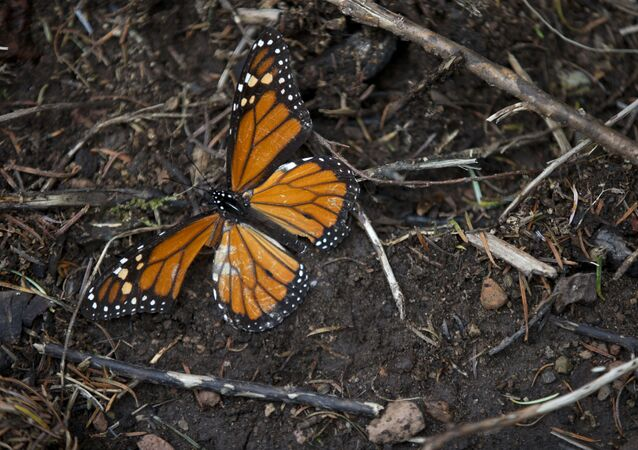 A dead butterfly lies on the ground (File)