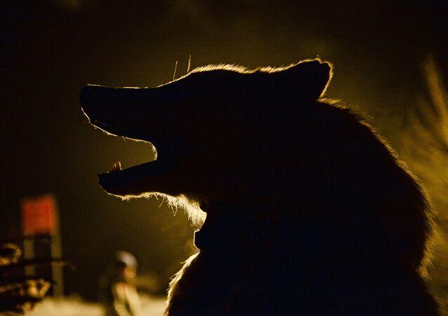 Xamã antes do rito San Salyr no Parque Nacional em Kyzyl, na margem do rio Yenisei. San Salyr é o ritual de saudação ao Sol, cujos primeiros raios simbolizam a chegada de Shagaa, o Ano Novo segundo o calendário lunar.