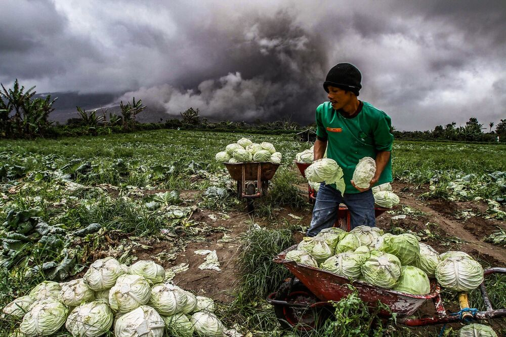 Granjeiro indonésio colhe repolhos durante erupção do vulcão Monte Sinabung