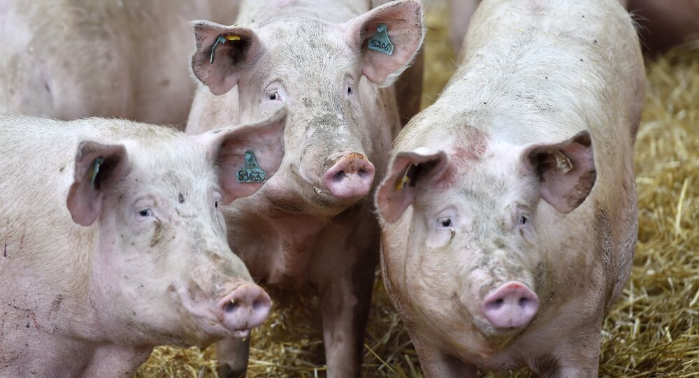Brasil responde por 90% da importação de carne suína pela Rússia